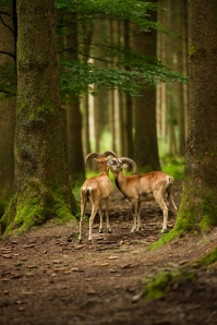 Mouflon Rams in a Forest
