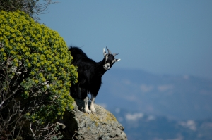 Goat on a high ledge