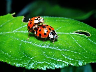 ladybugs-1271771_1920 - Copy