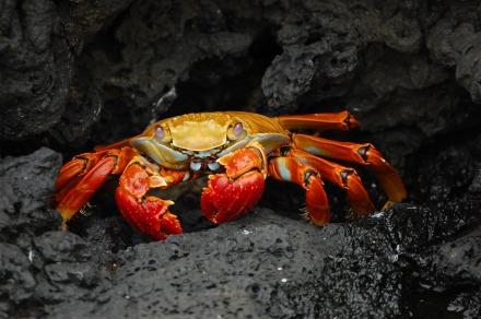 crab-63084_1920(1)
