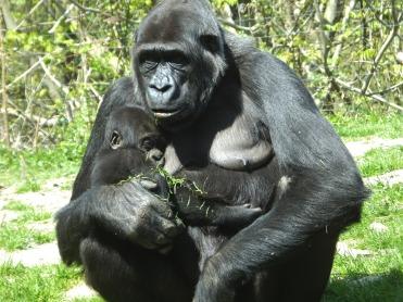 gorilla-1385688_1920