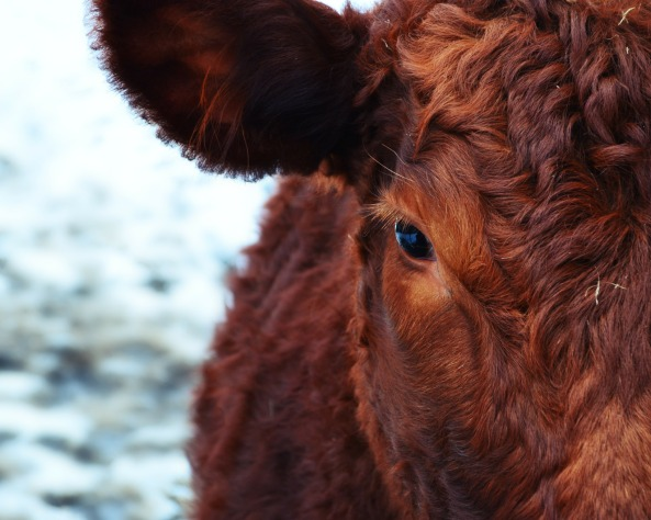 cow-174822_1920 - Copy