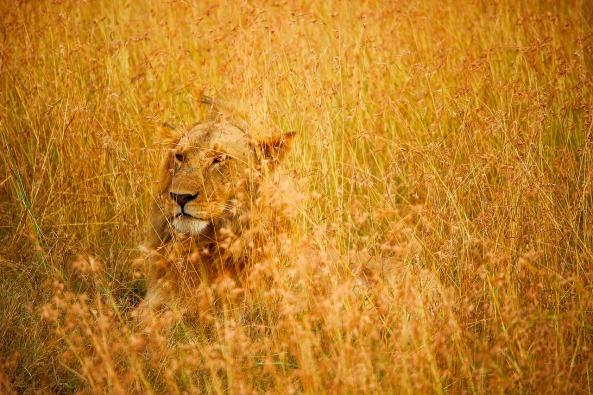 lion-1905290_1280