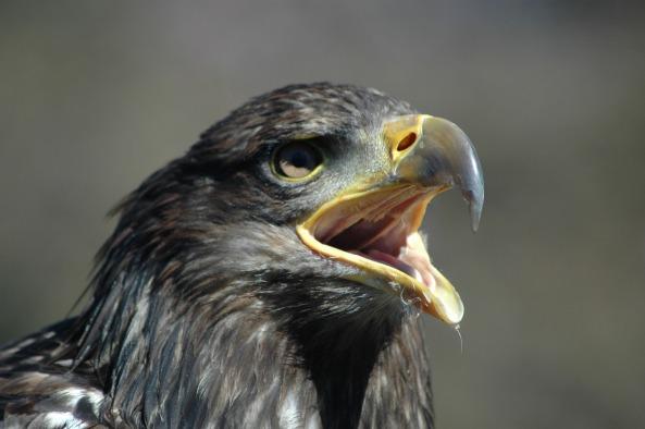 eagle-5-2333789_1920
