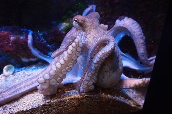 squid-832175_1920