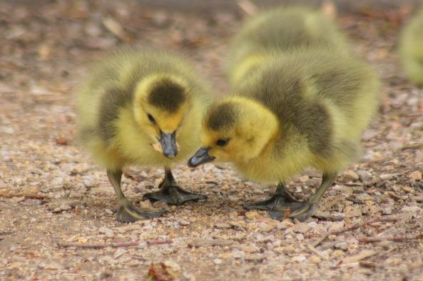 duckling-2659938_1920