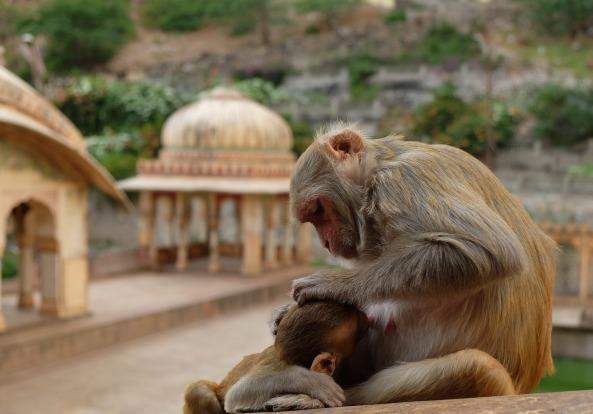 monkeys-2430510_1920