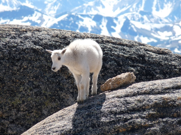 Baby_mountain_goat_on_rock