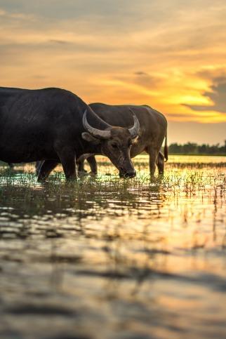 buffalo-2366589_1920